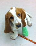 basset hound puppy with bandaged paw